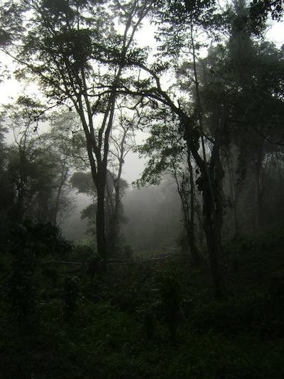 Abandoned plantation with high canopy trees in Kumbira.