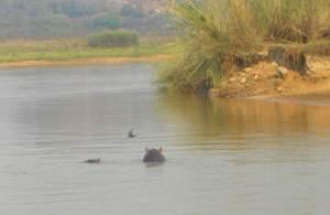 hippo-
