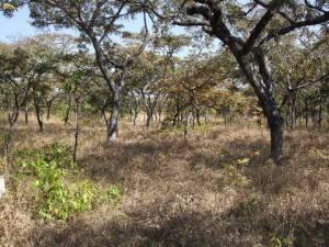 Cangandala woodland