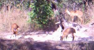 A duiker and bushbuck enjoying a salt lick