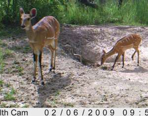 Bushbuck mother and calf