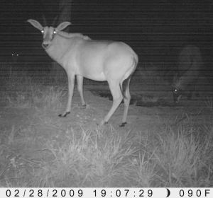 Young hybrid female (photo taken by the Stealthcam).
