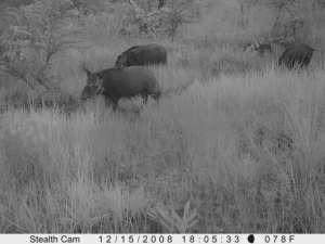 Bush pig family