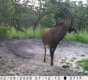 Hybrid bull