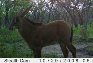Hybrid calf