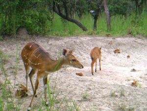 Bushbuck mother and calf.