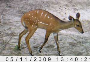 Female bushbuck.