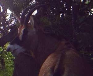 Female roan.