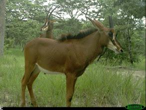 Male calf