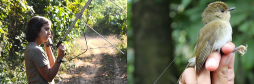 Aimy Cáceres radio tracking (left) a tagged Gabela Akalat (right)