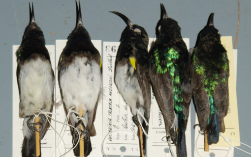Birds in the Lubango Bird Skin Collection. Photo courtesy Michael Mills.