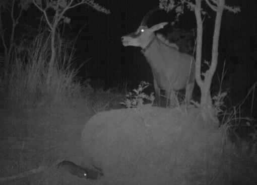 Hybrid cow smelling the presence of the cane rat; Fêma híbrida cheirando a presença da paca.