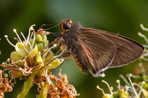 Nectar meal; Refeição de néctar.