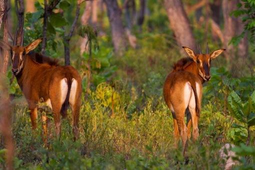 Two young girl calves; Duas jovens crias fêmeas.