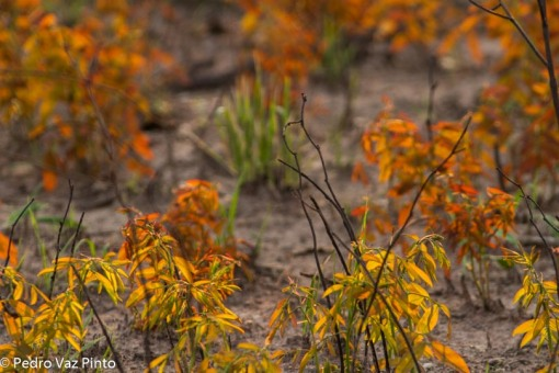 geophytes
