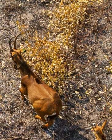 Little calf in Cangandala; Jovem cria na Cangandala