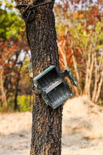A trap camera destroyed by poachers; Uma câmara oculta destruída pelos caçadores.