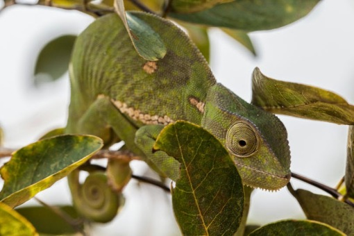 A chameleon; Um camaleão.