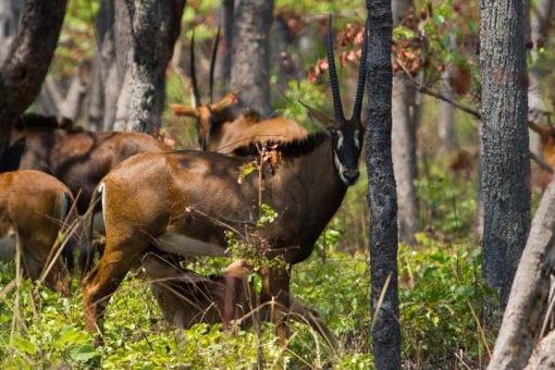 Vanda nursing her little calf; A Vanda amamentando a sua pequena cria.