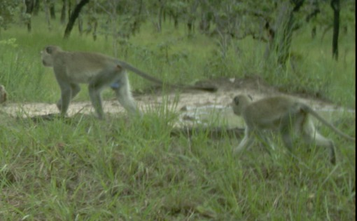 Vervet monkeys visiting Salina 10; Macacos-cinzento visitando a Salina 10.
