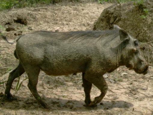 Warthog male after his daily mud bath; Macho de facochero depois do seu banho de lama diário.