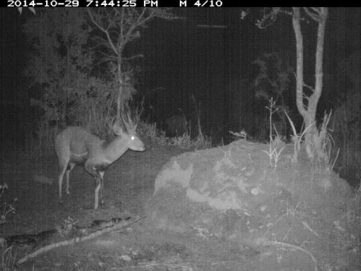The following night the python again a bushbuck male!!! Na noite seguinte a jibóia novamente e um macho de golungo!!!