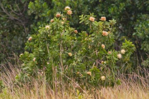 A protea tree in full blossom. Um árvore de Protea totalmente em flor.