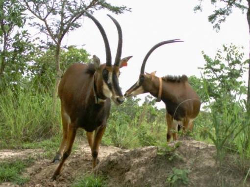 Two old pure sable cows. Duas velhas palancas negras puras.