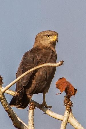 Uncommon visitor to Cangandala: a western banded snake eagle; Um visitante pouco habitual na Cangandala: uma águia-cobreira-listrada.