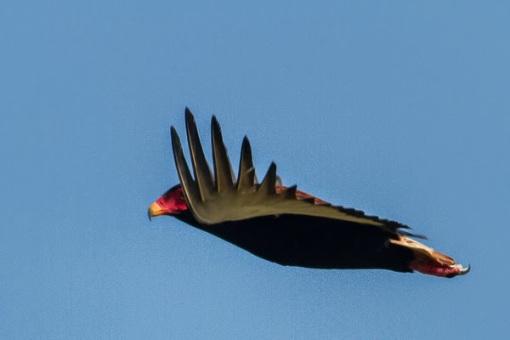 A stunning bateleur; Uma fantástica águia-sem-cauda.