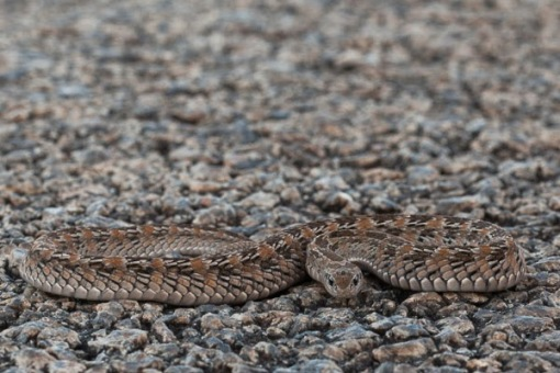 Found on the road, a night adder ready to strike; Encontrada na estrada uma víbora-nocturna preparada para atacar.