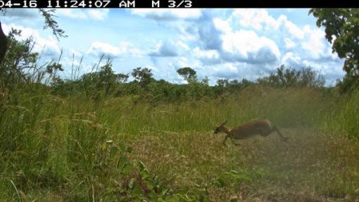 Flying duiker; Bambi voador.