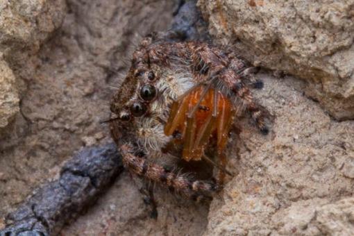 Predator clash part II... jumping spiders are formidable hunters; Combate de predadores parte II... aranhas saltadoras são caçadores formidáveis.