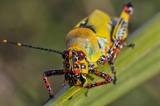 Colorful grasshopper; Gafanhoto colorido.