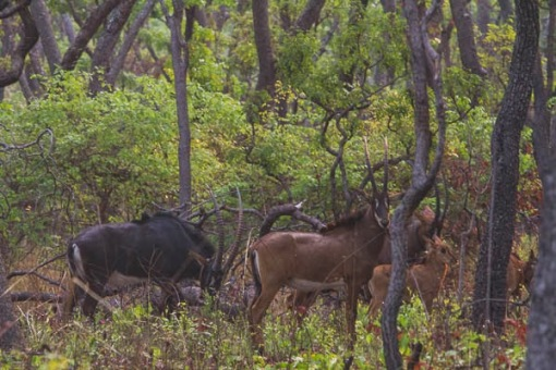 Mercury, females and a little calf. Mercúrio, fêmeas e uma pequena cria.