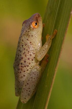 Possibly long reed frog Hyperolius nasutus... Possivelmente rela-de-nariz-afiado Hyperolius nasutus