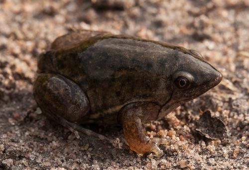 An interesting frog, a shovel nosed Hemisus marmoratus; Uma rã interessante, rã-escavadora Hemisus marmoratus.
