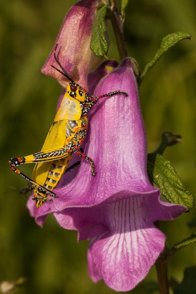 A stunning grasshopper on lilac flower; Um gafanhoto fantástico numa flor lilás.