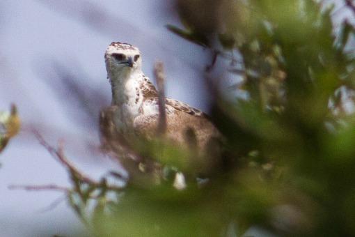 Juvenile martal eagle; Águia-marcial juvenil.
