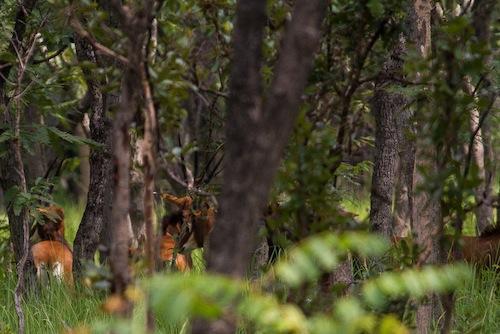The herd half-hideen behind trees; A manada meio escondida por detrás das árvores.