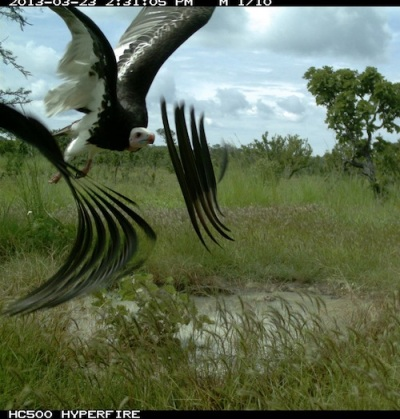 An artistic shot of an adult white-headed vulture on the wing! Uma foto artística de um abutre-de-cabeça-branca adulto em voo!