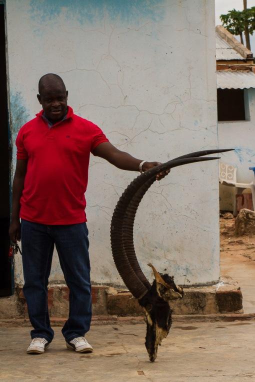 The head of the bull killed by poachers; A cabeça da palanca morta pelos caçadores-furtivos.