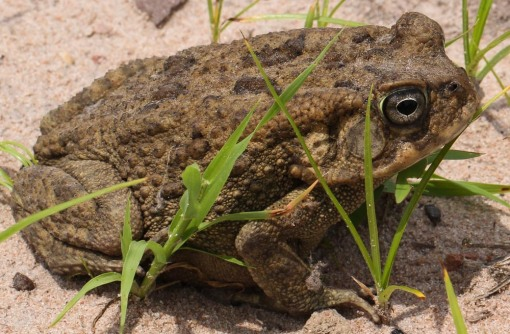Flat-backed toad; Sapo-de-costas-achatadas.