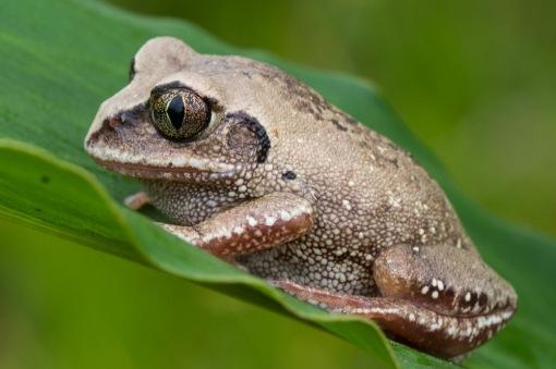 A bocage's tree frog; Uma rela-de-bocage.