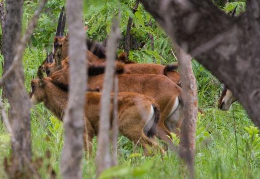Three young calves, age 2, 3 and 8 months; Três jovens crias com 2, 3 e 8 meses de idade.