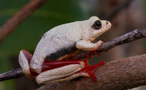 Another colour form of Angolan reed frog; Outra coloração da rela-de-angola