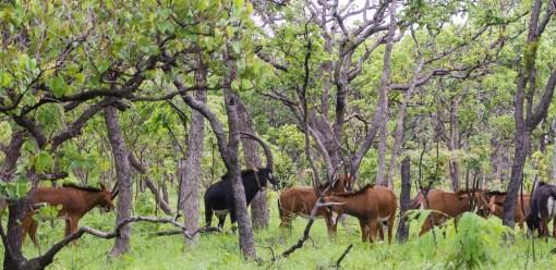 Our prime herd; A nossa manada de eleição.