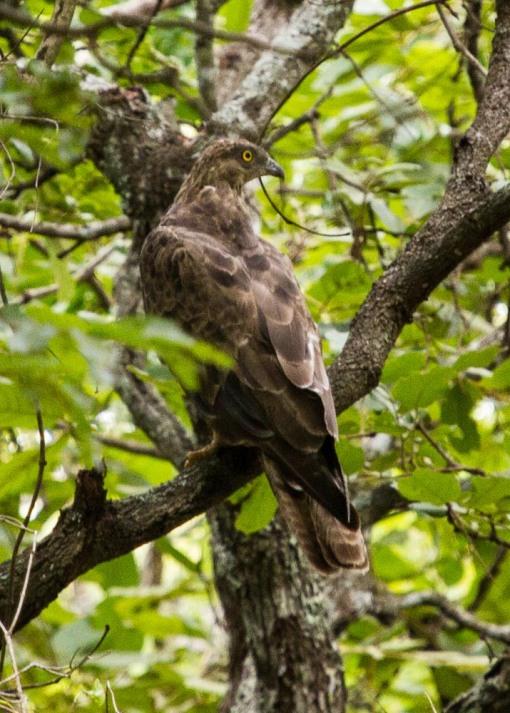 An unusual visitor, a honey buzzard; Um visitante pouco usual, um falcão-abelheiro.