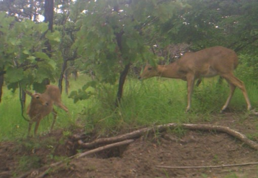 The female reedbuck and her daughter! A fêmea de nunce e sua cria!