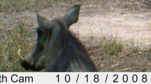 Warthog recorded on the Stealth cam
